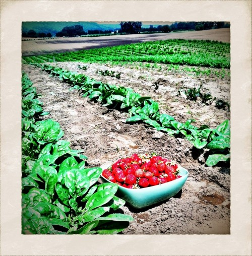 Sauvie Island Farm