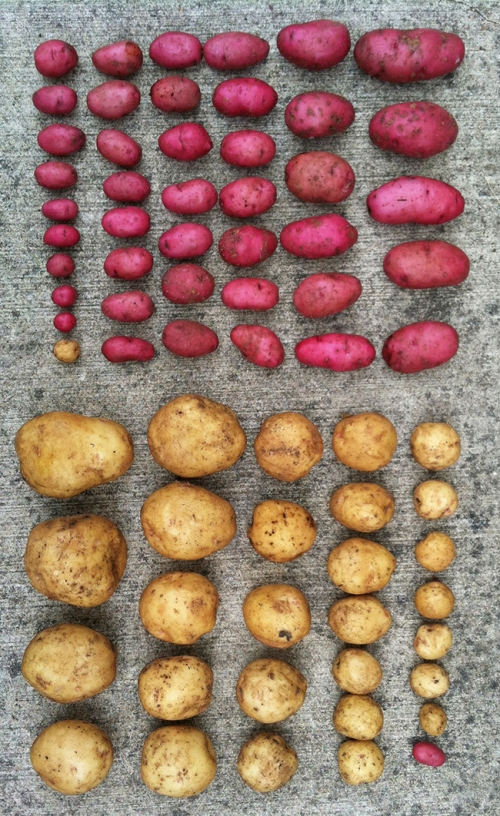 garden potatoes